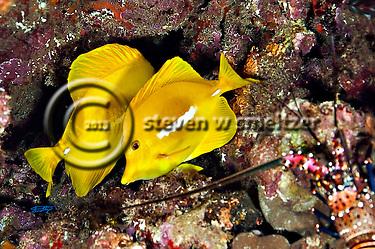 Yellow Tang, Zebrasoma flavescens, Lanai Hawaii, Knob Hill (Steven Smeltzer)