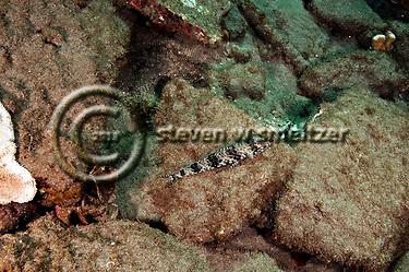 Hawaiian Lizardfish, Synodus ulae, Schultz, 1953, Maui Hawaii (Steven W SMeltzer)