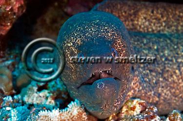"""Fierce eel"", Yellow Margin Moray eel, Gymnothorax flavimarginatus, (Rüppell, 1830), Maui Hawaii (Steven Smeltzer)"