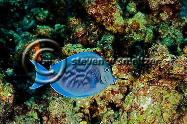 Blue Tang, Acanthurus coeruleus, Bloch & Schneider, 1801, Grand Cayman (StevenWSmeltzer.com)