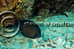 Doctorfish, Acanthurus chirugus, Bloch 1787, Grand Cayman (StevenWSmeltzer.com)