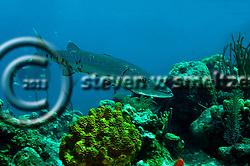 Great Barracuda, Sphyraena barracuda (Edwards in Catesby, 1771), Grand Cayman (StevenWSmeltzer.com)