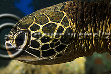 Green Sea Turtle, Chelonia mydas, (Linnaeus, 1758), Damaged Bill, Maui Hawaii (StevenWSmeltzer.com (949)290-6367)