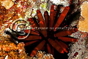 Slate Pencil Urchin, Heterocentrotus mammillatus,  on Maui, Hawaii near Kihei (Steven Smeltzer)