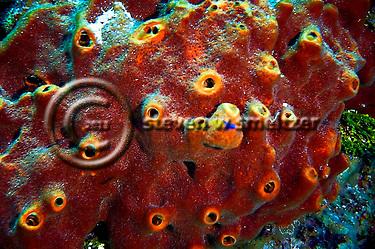 Brown Encrusting Octopus Sponge, Ectyoplasia ferox, No Name Wall, Grand Cayman (Steven Smeltzer)