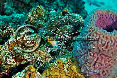 Bicolor Damselfish, Stegastes partitus, Grand Cayman (Steven Smeltzer)