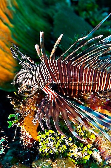 Lionfish Closeup, Pterois volitans, on coral Grand Cayman (Steven Smeltzer)