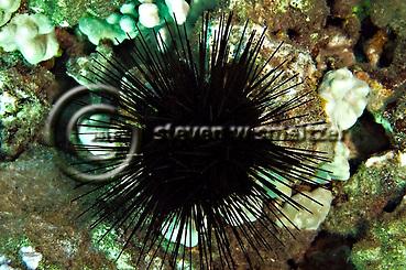 Spiny Sea Urchin, west coast of Maui, Hawaii (Steven Smeltzer)