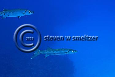 Dynamic Duo, Great Barracuda, Sphyraena barracuda, (Edwards in Catesby, 1771), Grand Cayman (StevenWSmeltzer.com)
