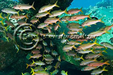 Yellowfin Goatfish, Mulloidichthys vanicolensis, (Valenciennes, 1831) Maui Hawaii (Steven W SMeltzer)