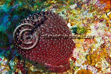 Black Ball Sponge, Ircinia strobilina, Grand Cayman (Steven Smeltzer)