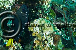 Yellowtail Damselfish Intermediate, Microspathodon chrysurus, Grand Cayman (Steven Smeltzer)