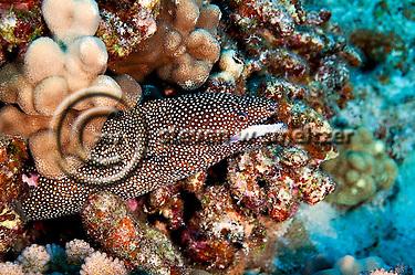 Whitemouth Moray profile, Gymnothorax meleagris, Maui Hawaii (Steven Smeltzer)
