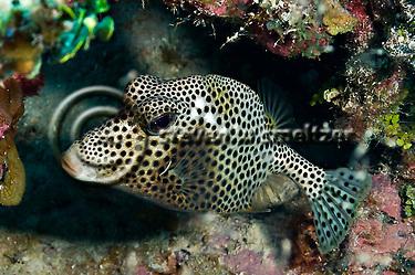 Spotted Trunkfish, Lactophrys bicaudalis, Grand Cayman (StevenWSmeltzer.com)