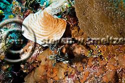 Sharpnose Puffer, Canthigaster rostrata, (Bloch, 1786), Grand Cayman (StevenWSmeltzer.com)