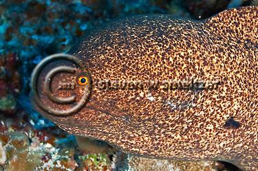 Pühi-paka, Yellow Margin Moray eel, Gymnothorax flavimarginatus, (Rüppell, 1830), Maui Hawaii (Steven Smeltzer)