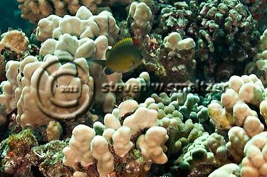 Oval Chromis, Chromis ovalis, Molokai Hawaii (Steven W SMeltzer)