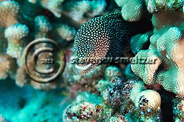 Whitemouth Moray, Gymnothorax meleagris, Maui Hawaii (Steven Smeltzer)