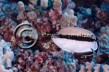 Bandit Angelfish, Apolemichthys arcuatus, Molokai Hawaii (Steven W SMeltzer)