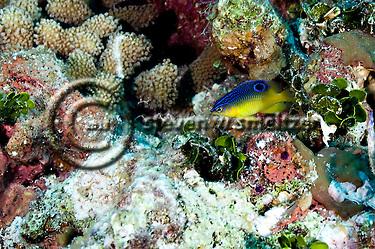 Cocoa Damselfish Juvenile, Stegastes variabillis, Grand Cayman (StevenWSmeltzer.com)