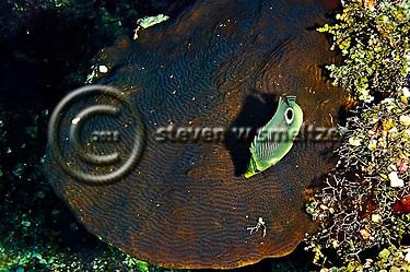 Foureye Butterflyfish, Chaetodon capistratus, Coral reef, Grand Cayman (Steven Smeltzer)