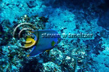 Queen Angelfish, Hoacanthus ciliaris, Grand Cayman (Steven Smeltzer)