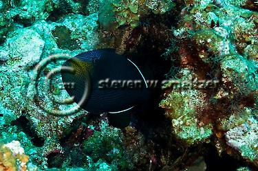 Black Durgon, Melichthys niger,(Bloch, 1786), Chinese Wall, Grand Cayman (StevenWSmeltzer.com)