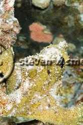 Commerson's Frogfish, Antennarius commerson, (Lacepède, 1798), Maui Hawaii (Steven W SMeltzer)