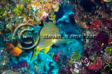 Bluestriped Grunt, Haemulon sciurus, Grand Cayman (Steven Smeltzer)