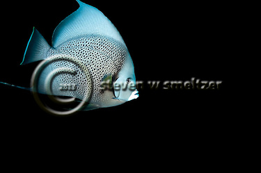 Gray on Black, Gray Angelfish, Pomacanthus arcuatus, Grand Cayman (StevenWSmeltzer.com)