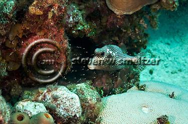 Spotted Trunkfish, Lactophrys bicaudalis, (Linnaeus, 1758), Grand Cayman (StevenWSmeltzer.com)