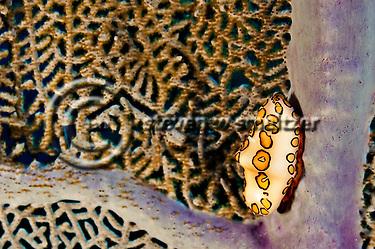 Flamingo Tongue, Cyphoma Gibbosum, Grand Cayman (Steven W Smeltzer)
