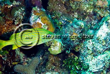French Grunt, Haemulon flavolineatum, Grand Cayman (Steven Smeltzer)