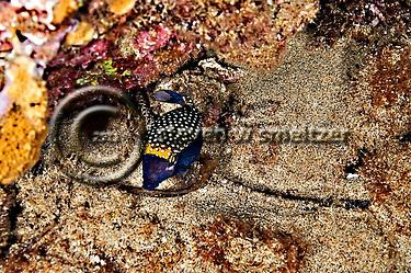 Male Boxfish, Ostracion meleagris camurum, night dive, Maui Hawaii (Steven Smeltzer)