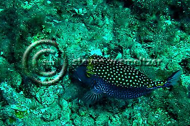 Spotted Boxfish Male, Ostracion meleagris, Maui Hawaii (Steven Smeltzer)