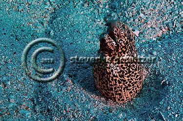 Freckled Snake Eel, Callechelys lutea, Maui Hawaii (Steven Smeltzer)