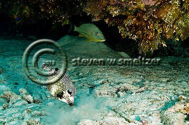 Smooth Trunkfish, Lactophrys triqueter, Bluestriped Grunt, Haemulon sciurus, Grand Cayman (StevenWSmeltzer.com)