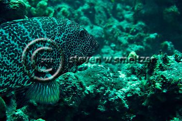Tiger Grouper, Mycteroperca tigris, Pictures of fish, Grand Cayman (Steven Smeltzer)