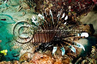 Lionfish Closeup, Pterois volitans, Grand Cayman (StevenWSmeltzer.com)