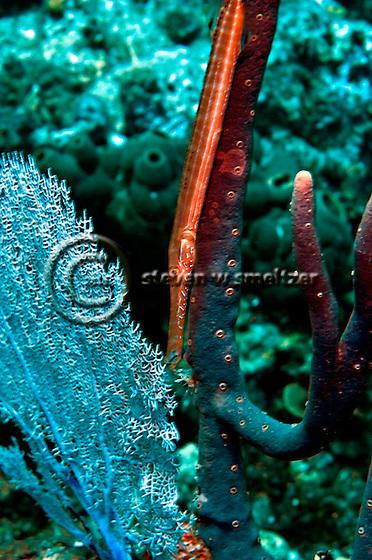Trumpetfish, Aulostomus maculatus, Grand Cayman (Steven Smeltzer)